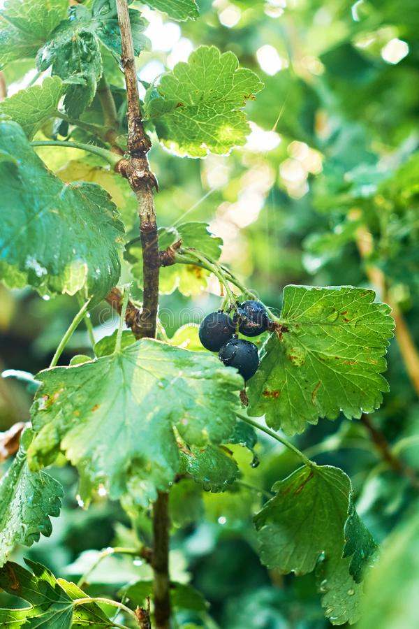 Hanging black currant berries closeup with rain water dew drops on stem of plant bush with bokeh, garden dacha farm.  stock photos