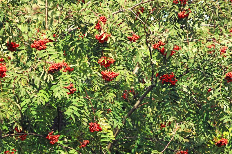 Hanging bunches of mountain ash on a branch. Cluster of mountain ash on the branches of a tree royalty free stock photography