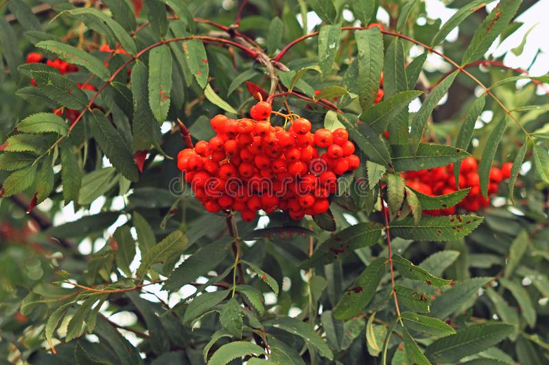 Hanging bunches of mountain ash on a branch. In the park royalty free stock image