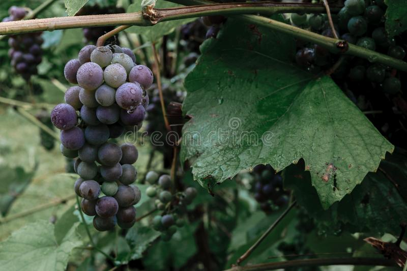 Hanging bundle of unripe blue grapes covered by morning dew royalty free stock images