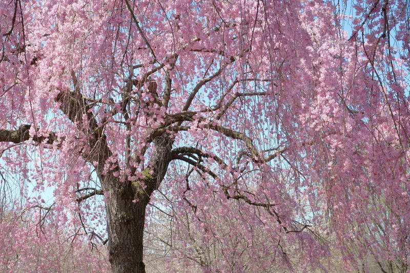 Hanging Cherry Blossom tree in full bloom stock photos