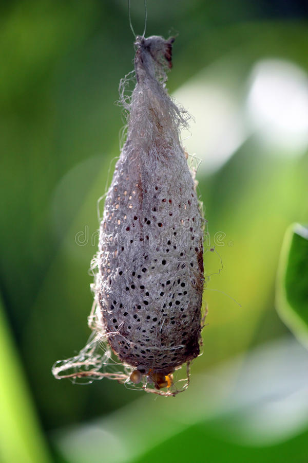 Hanging chrysalis. With small holes stock images