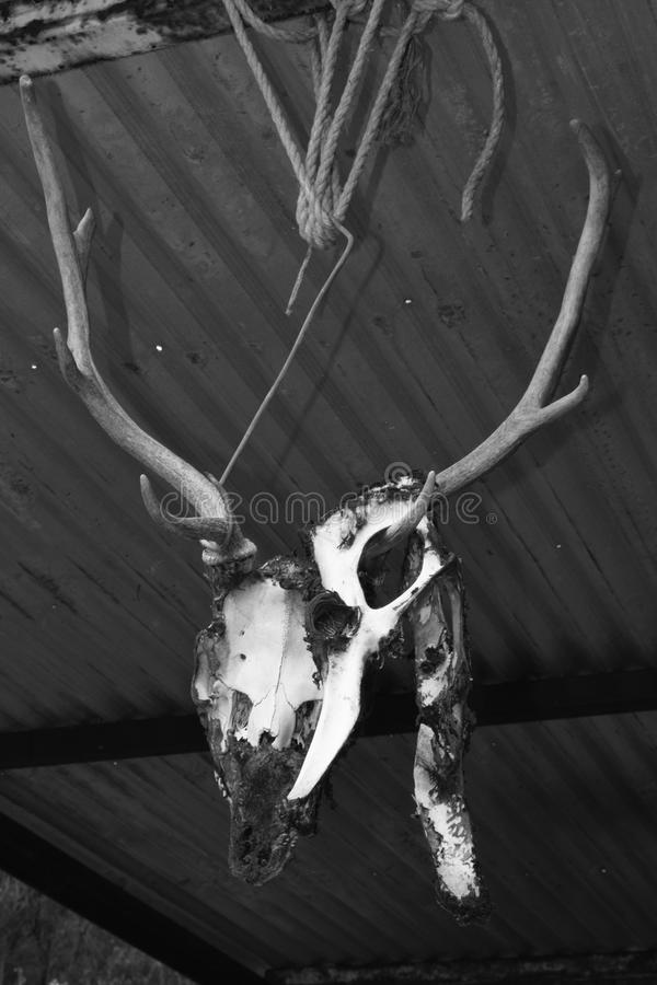 Hanging deer skull stock photo