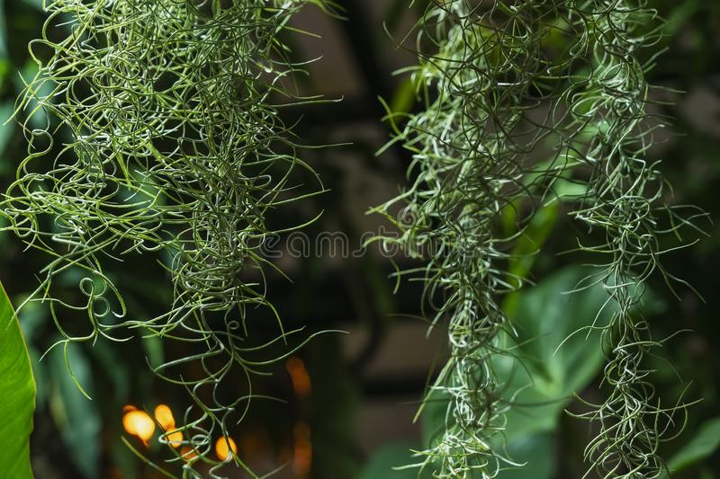 Hanging exotic spiral plant on the background of tropical plants. Natural green background royalty free stock photos