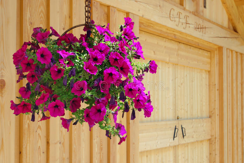 Hanging flower basket. Hanging flowerpot with fuchsia flowers with wood cabin in the back royalty free stock photo