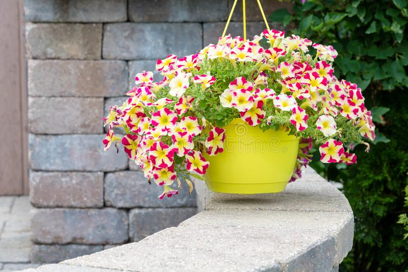Hanging flowerpot of colorful variegated petunias royalty free stock image