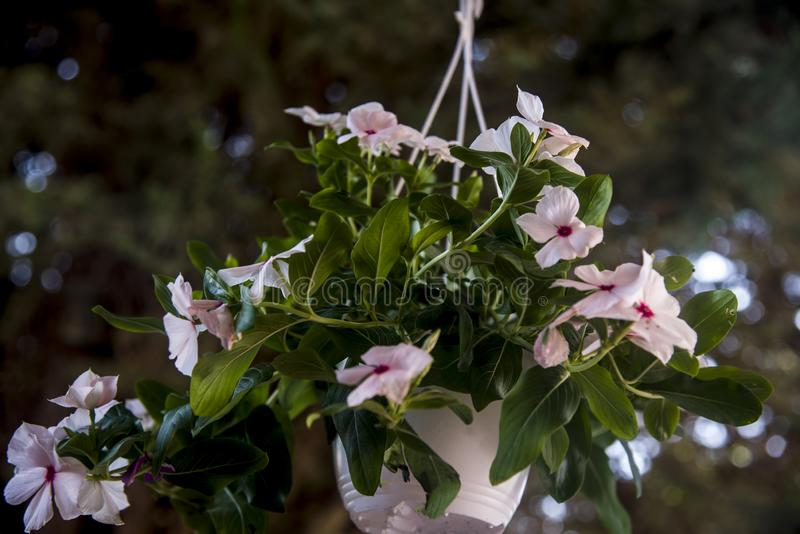 Hanging flowerpot with pink flowers. Hanging flowerpot with delicate pink flowers and blurry bokeh background stock photos