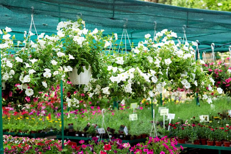 Hanging flowerpots with a blooming petunia. royalty free stock images