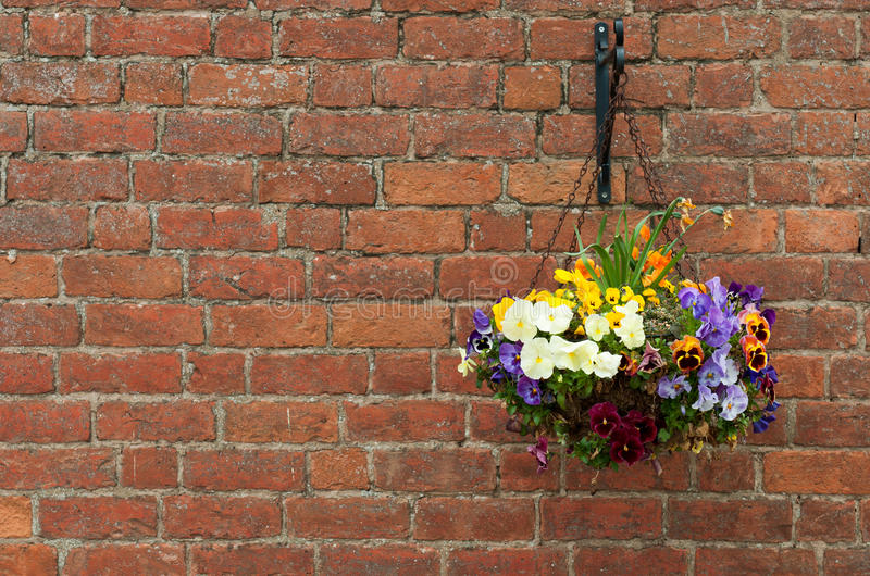 Hanging flowers pot. Gorgeous hanging primula flowers in a pot on a brick wall background royalty free stock photo