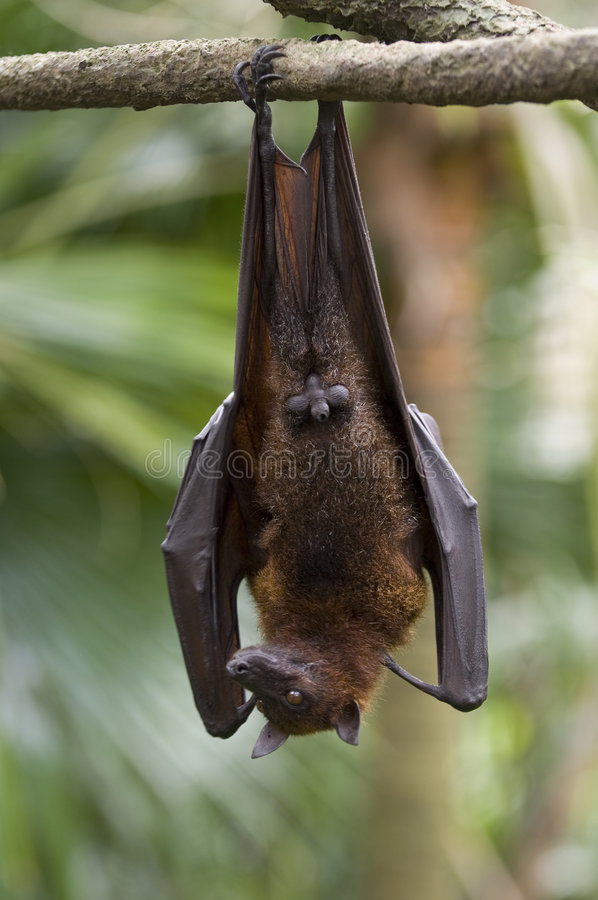 Download Hanging Fruit Bat Stock Photo - Image: 197680