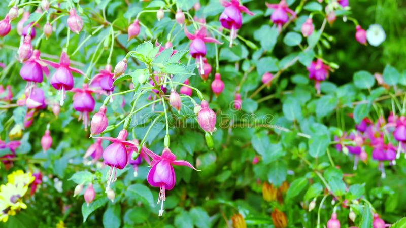 Hanging fuchsia flowers in shades of pink, purple and white.  stock images