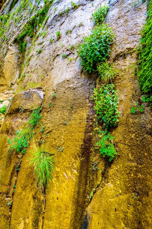 The Hanging Gardens on the Sandstone Mountains in Zion National Park, Utah, USA. Flowering Columbine plants in the Hanging Gardens on the Sandstone Mountains on stock photography
