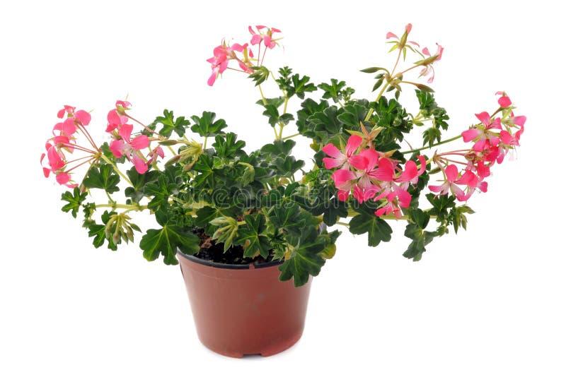 Download Hanging geraniums stock photo. Image of pink, geranium - 24117350
