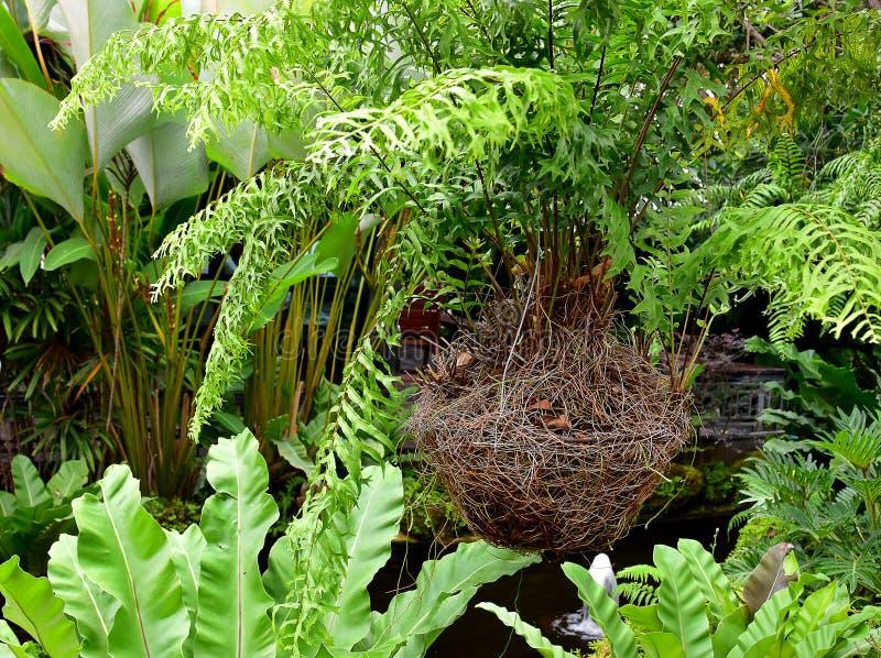 Hanging green Fish Bone fern on the bird nest basket royalty free stock photo