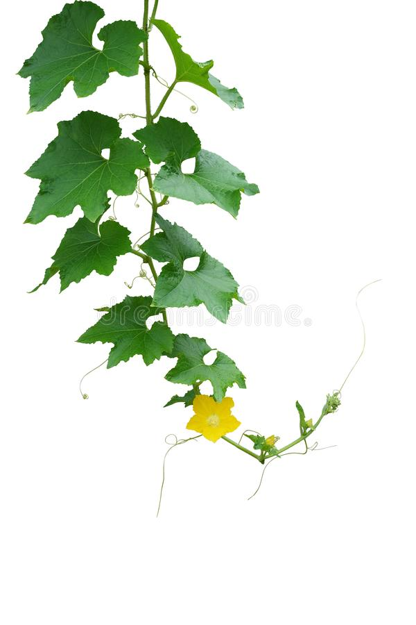Hanging hairy vine pumpkin plant with green leaves, yellow flowers and tendrils isolated on white background with clipping path stock photography