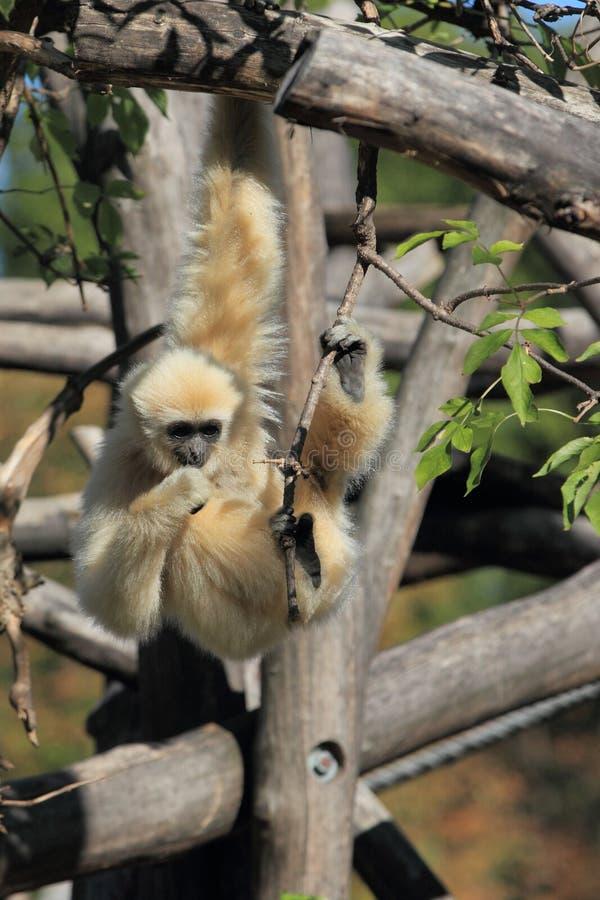 Hanging lar gibbon. The lar gibbon hanging on the tweet stock photos