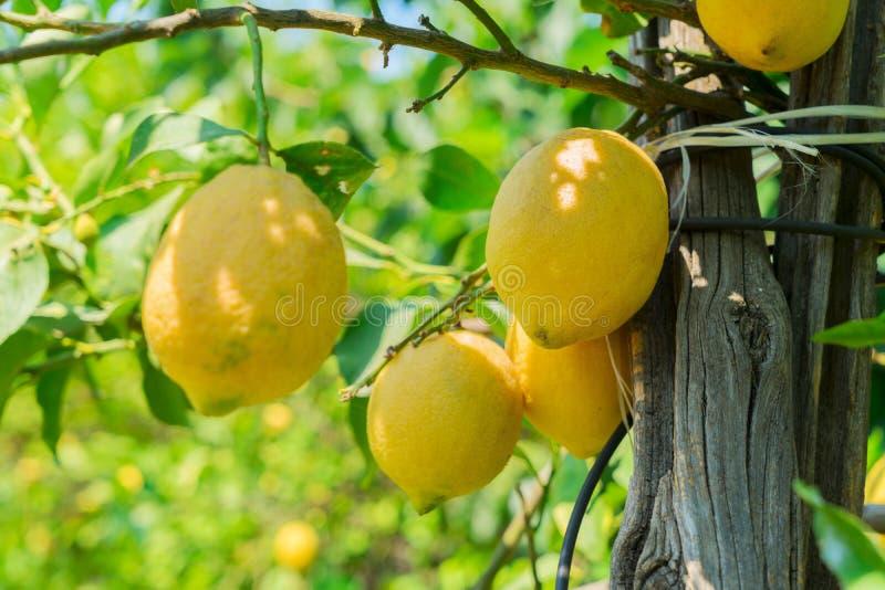 Lemon garden of Sorrento. Hanging Lemon Fruits in Lemon garden of Sorrento at summer stock images