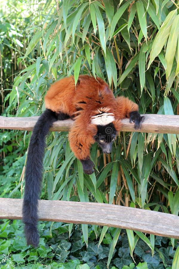 Hanging Lemur. Zoo Artis in Amsterdam. Animals Knowledge of nature. Through the eyes of nature. Red Lemur. Zoo `Artis` in Amsterdam. Animals Knowledge of this stock photography