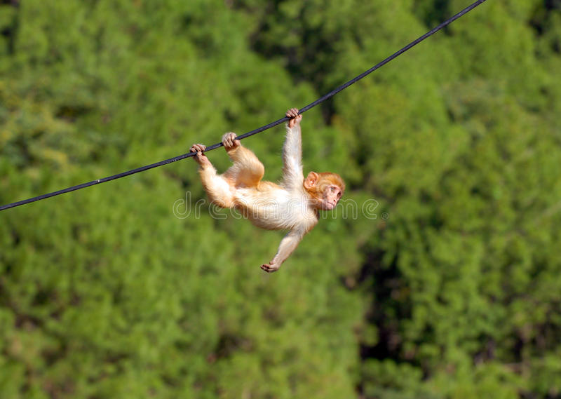 Hanging monkey stock photos