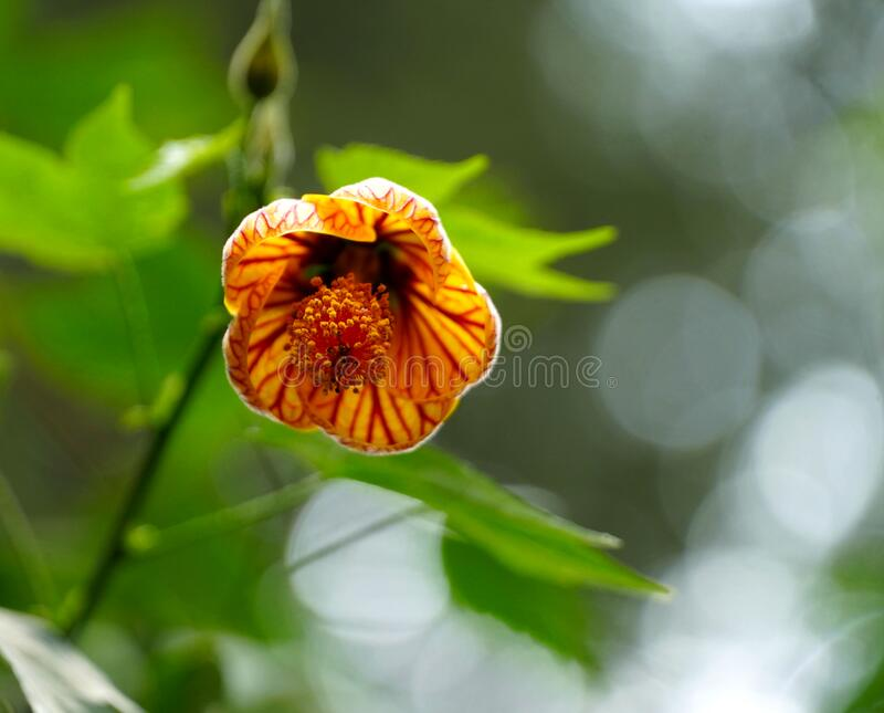 Hanging orange and red bell flower. An Orange and red petaled bell flower hanging from tree in the garden royalty free stock photos