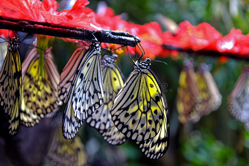 Hanging Paper Kite Butterflies. Paper Kite Butterflies hanging from a branch in Penang malaysia stock image