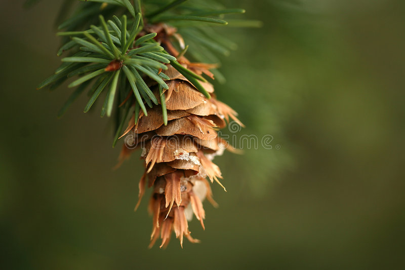 Download Hanging pine cone stock photo. Image of cone, wood, colorado - 1335154