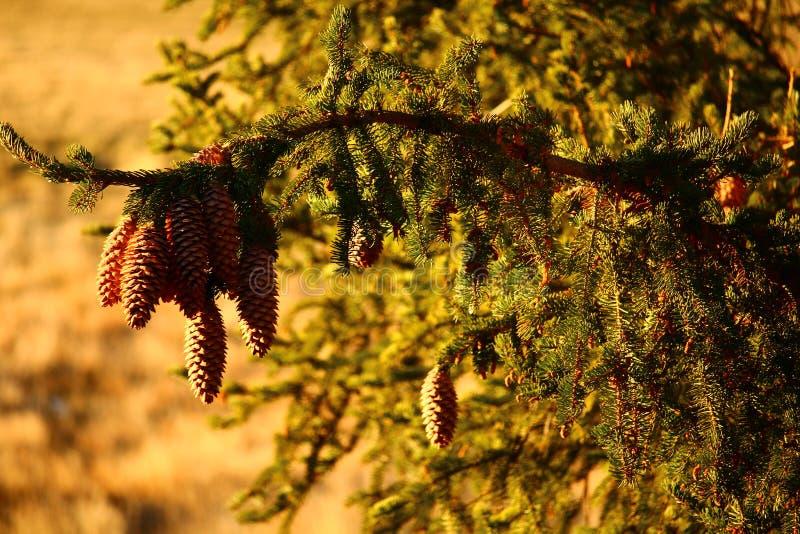 Hanging Pine Cone at sunrise royalty free stock photos