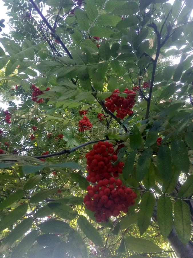 Hanging red bunch of ripe berry mountain ash. Rowan aucuparia tree stock images