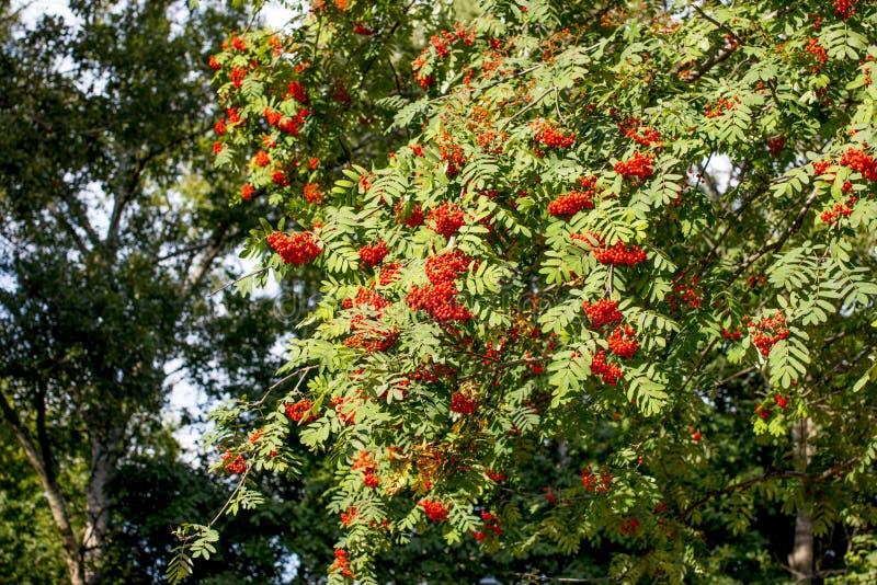 Hanging red bunch of ripe mountain ash. Orange Rowan hanging from the Bush royalty free stock images