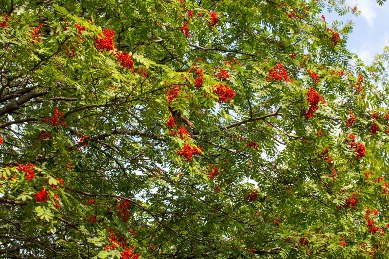 Hanging red bunch of ripe mountain ash. Orange Rowan hanging from the Bush royalty free stock photo