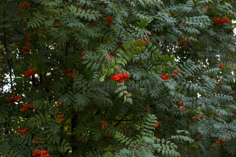 Hanging red bunch of ripe mountain ash. stock photos