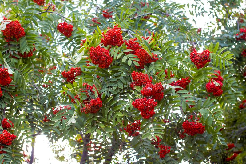 Hanging red bunch of ripe mountain ash. royalty free stock image