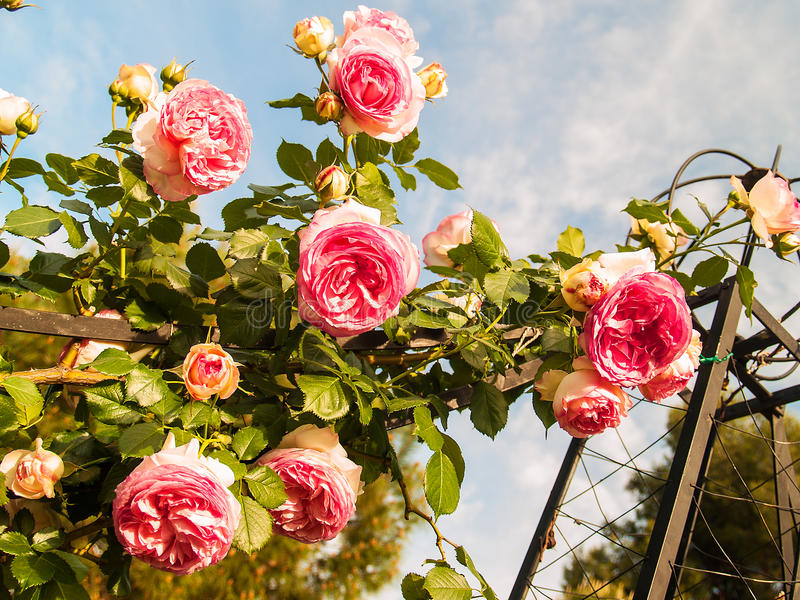 Hanging roses stock image