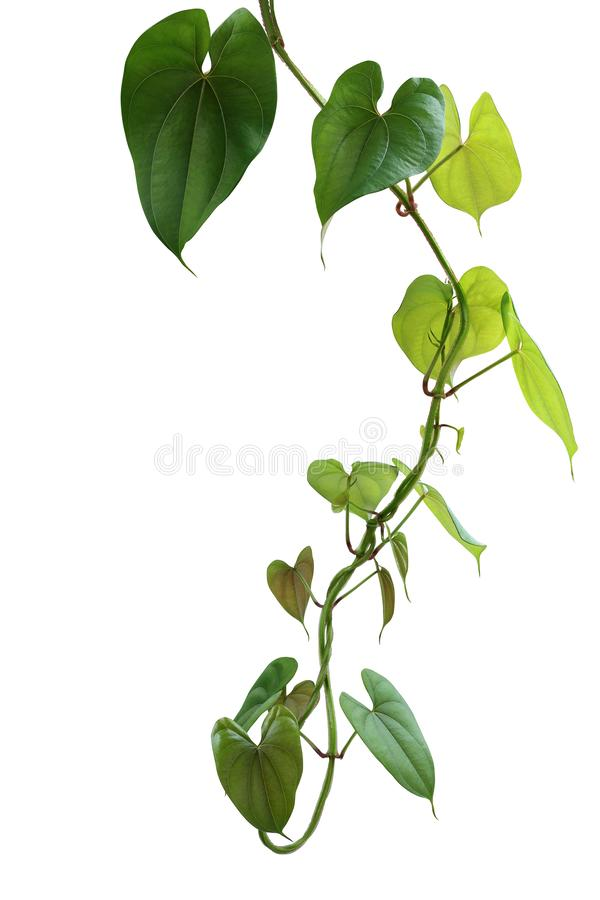 Hanging twisted vine liana plant with heart shaped green brownish leaves of purple yam or winged yam Dioscorea alata the tropic. Forest climber plant isolated royalty free stock photos
