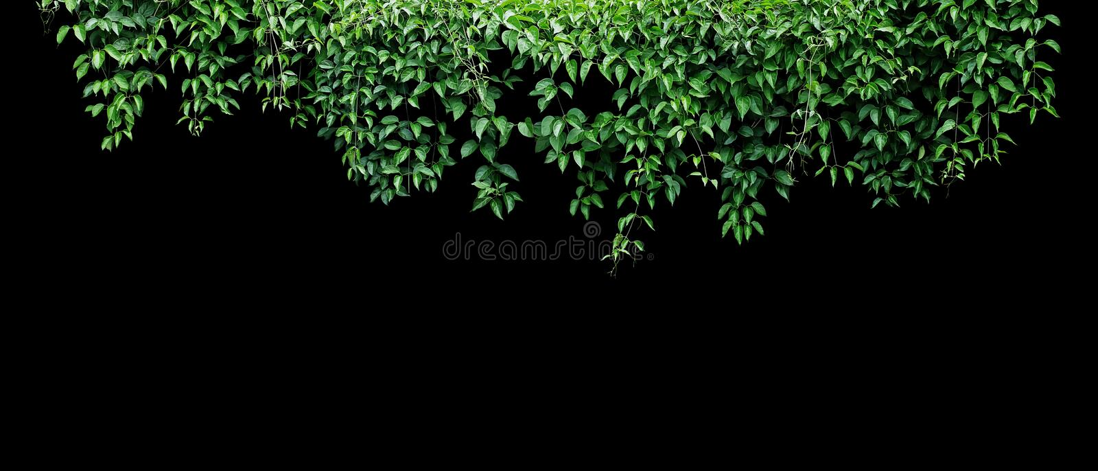 Hanging vines ivy foliage jungle bush, heart shaped green leaves climbing plant nature backdrop banner isolated on black. Background with clipping path stock images