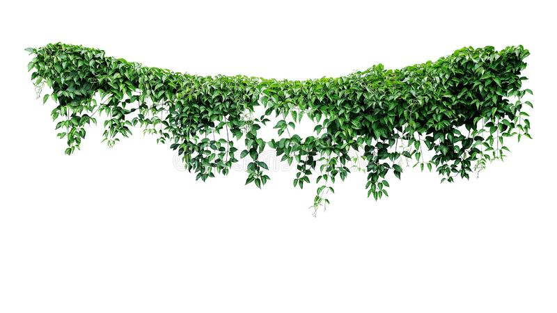 Hanging vines ivy foliage jungle bush, heart shaped green leaves climbing plant nature backdrop isolated on white background with. Clipping path stock photos