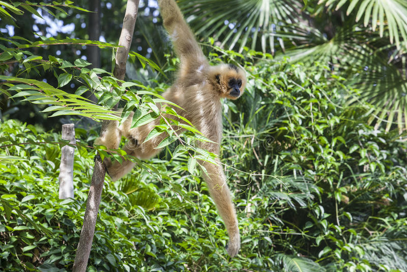 Hanging yellow cheeked gibbon. Nomascus gabriellae or yellow cheeked gibbon hangs on tree royalty free stock photo