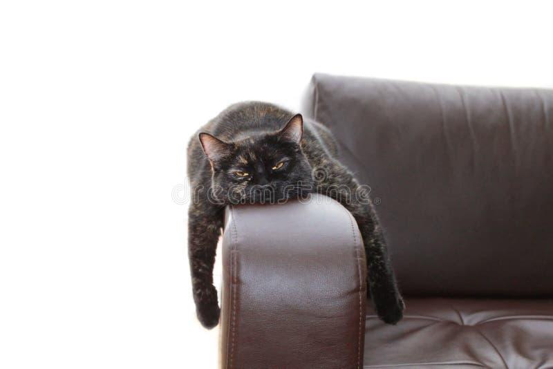 Hangover cat royalty free stock photo
