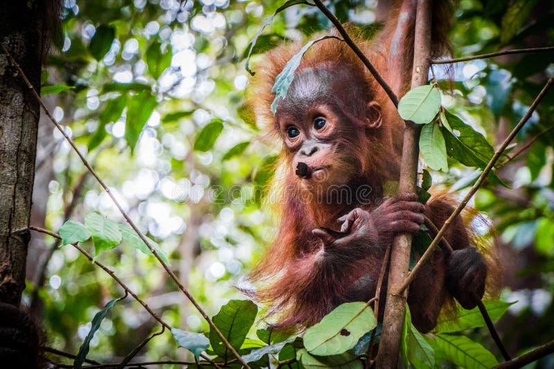 Hangt de leukste de babyorangoetan van de wereld in een boom in Borneo stock afbeelding