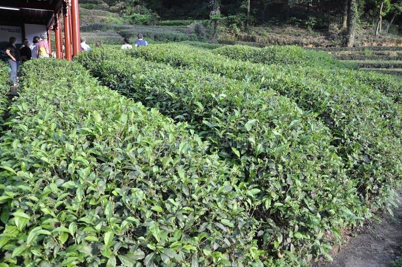 Hangzhou, ó pode: Vista cênico de uma plantação de chá perto de Hangzhou imagens de stock