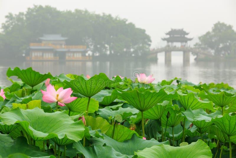 Hangzhou Lotus för västra sjö oavkortad blom i en dimmig morgon royaltyfria bilder