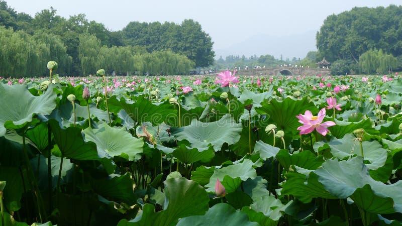 Hangzhou västra sjö med lotusblommablommor fotografering för bildbyråer