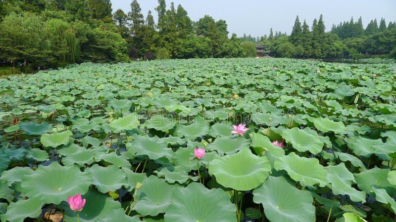 Hangzhou Westsee, Lotus Stirred durch Brise in Quyuan-Garten lizenzfreies stockbild