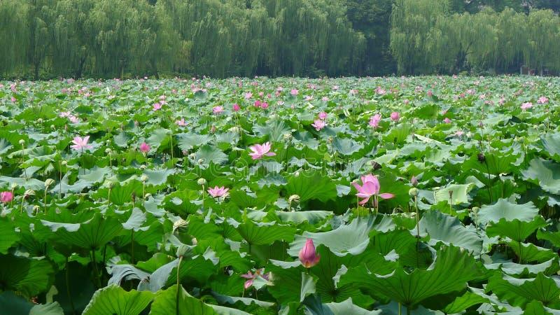 Hangzhou Westsee mit Lotosblumen lizenzfreie stockfotografie