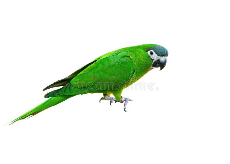 Hanh ara eller röd-knuffad ara, härlig grön fågel med vit bakgrund arkivfoto