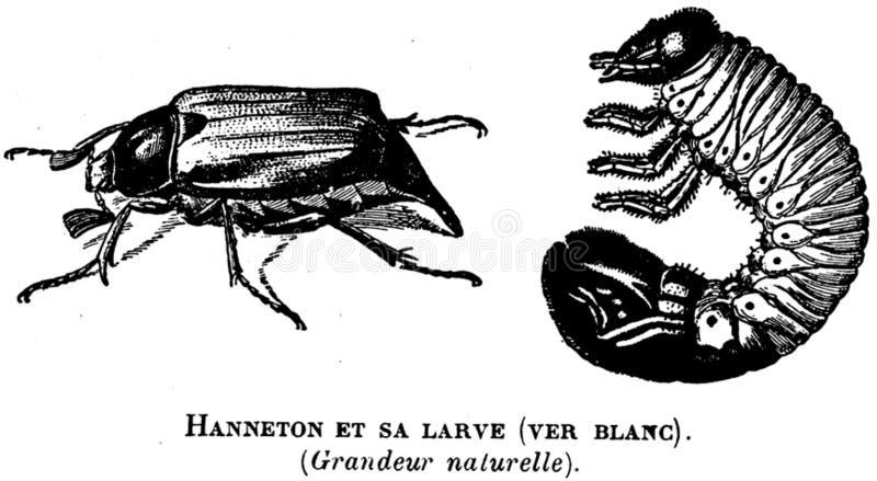Hanneton-oa Free Public Domain Cc0 Image