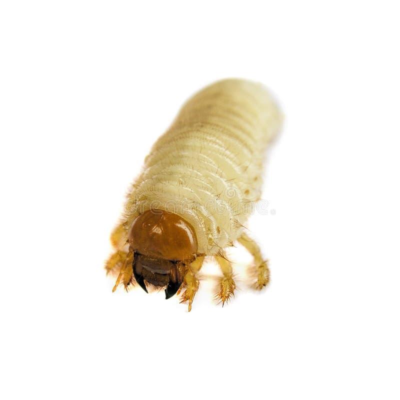 Hanneton solsticial commun d'isolement sur le fond blanc larve Melolontha vulgaris image libre de droits