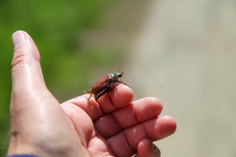Hanneton solsticial commun - melolontha de Melolontha, connu sous le nom d'insecte ou V1 de mai photographie stock