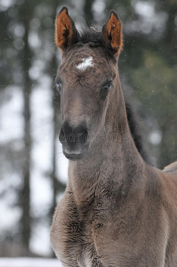 Download Hannoverian foal in winter stock photo. Image of foal - 12455088