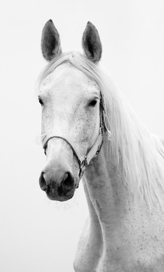 Download Hannoverian mare stock image. Image of portrait, neck - 25247421